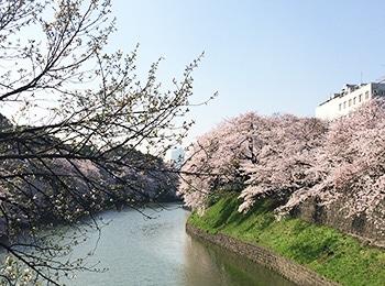 桜の名所でお花見ランチ