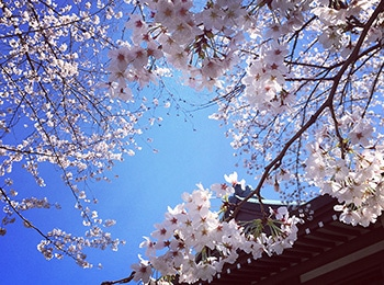 会社の近くには桜の標本木があります!